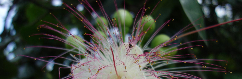 Blume Jambu